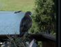 Reminiscent Falcon