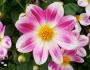 Fleur du Jardin deMonet