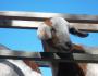 Sourire de Chèvre: GrinningGoat