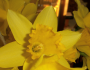 Álainn: The Beauty of a Daffodil (& brief update)
