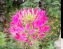 La Fleur Inconnue Rose: Of Monet'sGarden