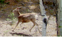 The Fawn and I: NatureCompositions