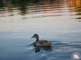 Duck~ology: Neighbors Set Apart