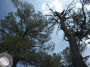 Up the Mangled Tree: Leaning on Firm Ground(II)